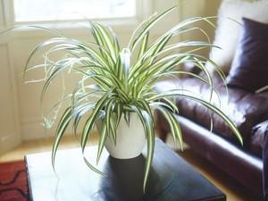 spider-plant-636